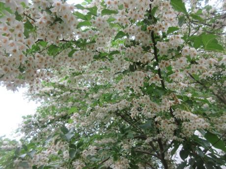 遅咲きのエゴノキ・沖縄スズメウリなど_a0203003_15454417.jpg