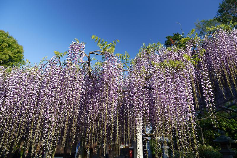 初夏の花巡り・藤@三大神社_f0032011_21301322.jpg