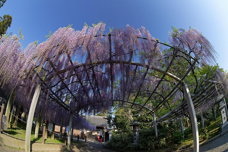 初夏の花巡り・藤@三大神社_f0032011_21301428.jpg