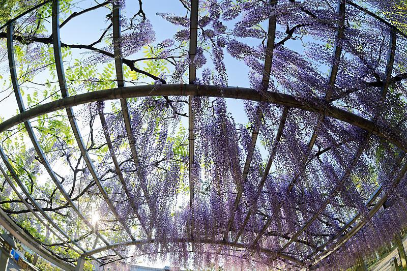 初夏の花巡り・藤@三大神社_f0032011_21301451.jpg