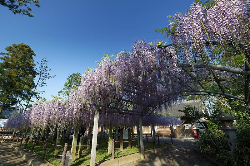初夏の花巡り・藤@三大神社_f0032011_21301461.jpg