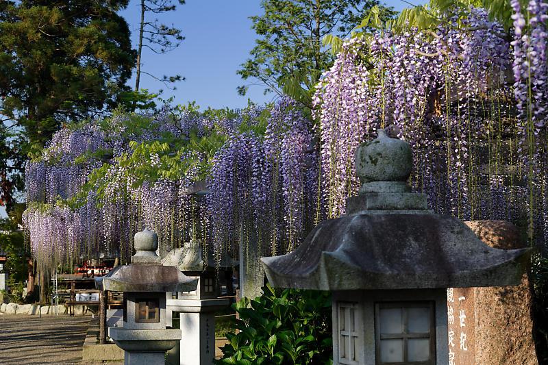初夏の花巡り・藤@三大神社_f0032011_21301474.jpg
