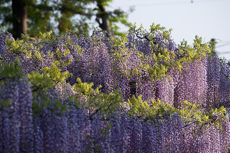 初夏の花巡り・藤@三大神社_f0032011_21301476.jpg