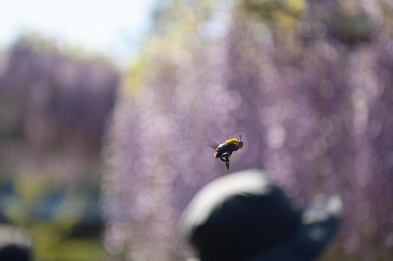 初夏の花巡り・藤@三大神社_f0032011_21325233.jpg