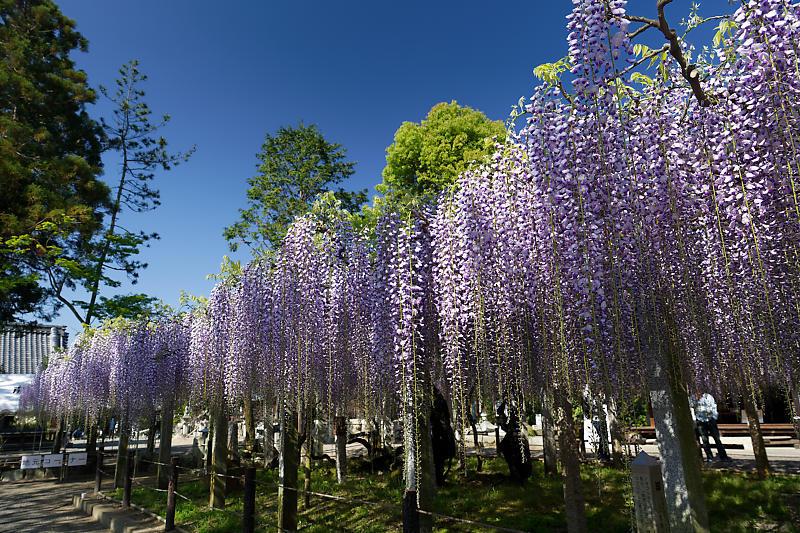 初夏の花巡り・藤@三大神社_f0032011_21325235.jpg