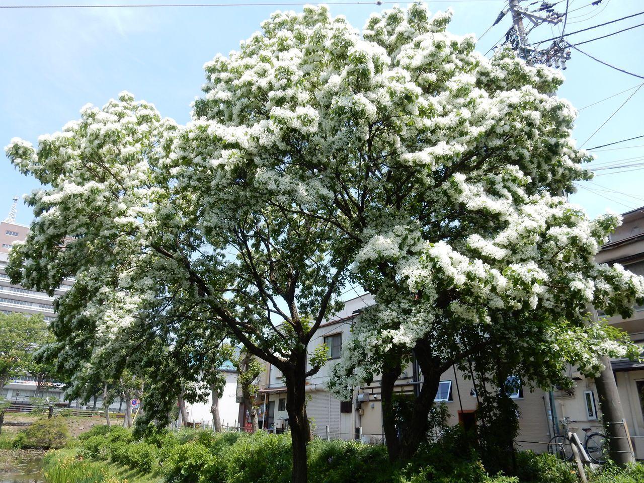 白い花は夏_c0025115_23010796.jpg