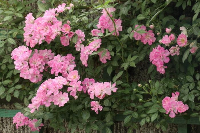 庭のバラ_d0150720_09584484.jpg