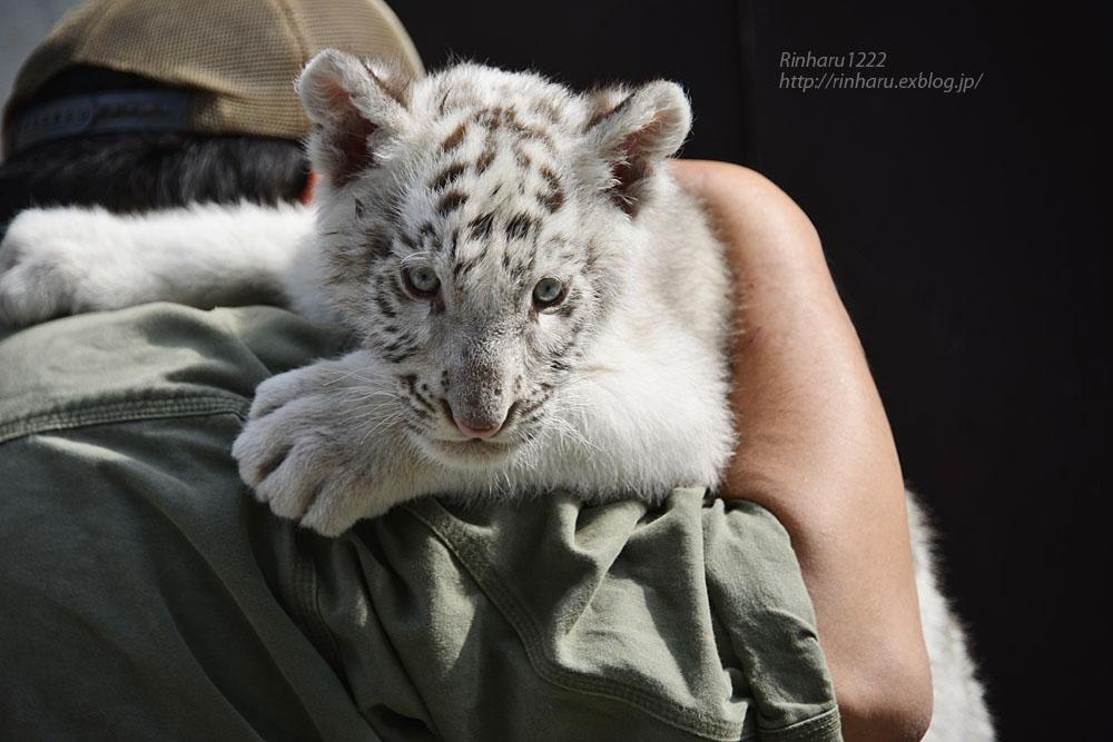 2019.5.27 宇都宮動物園☆ホワイトタイガーのグーナくん【White tiger baby】_f0250322_21185292.jpg