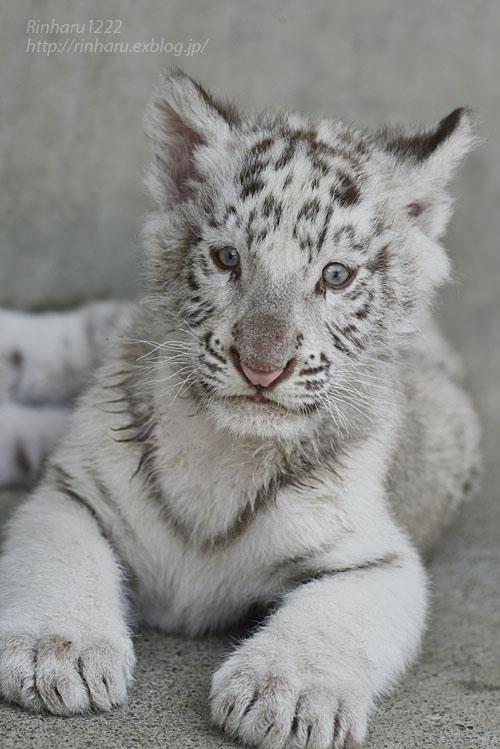 2019.5.27 宇都宮動物園☆ホワイトタイガーのグーナくん【White tiger baby】_f0250322_21192571.jpg
