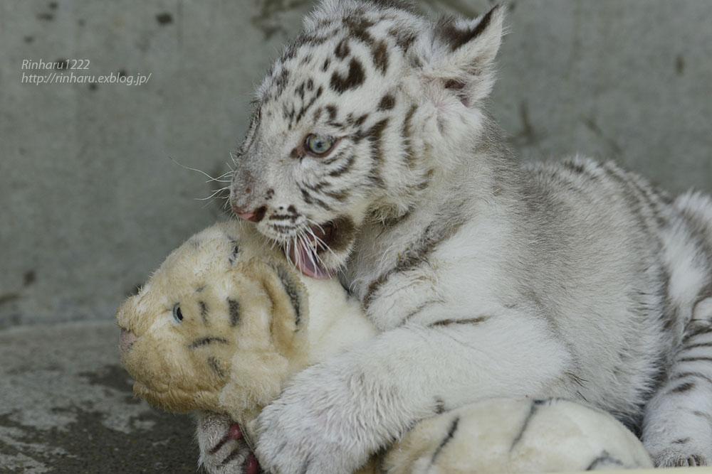 2019.5.27 宇都宮動物園☆ホワイトタイガーのグーナくん【White tiger baby】_f0250322_21193056.jpg