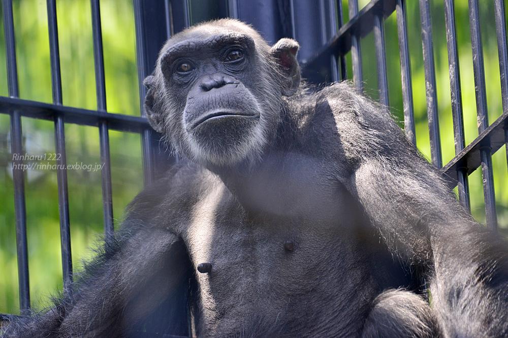 2019.5.12 宇都宮動物園☆チンパンジーのジローとマリヤ【Chimpanzee couple】_f0250322_22285954.jpg