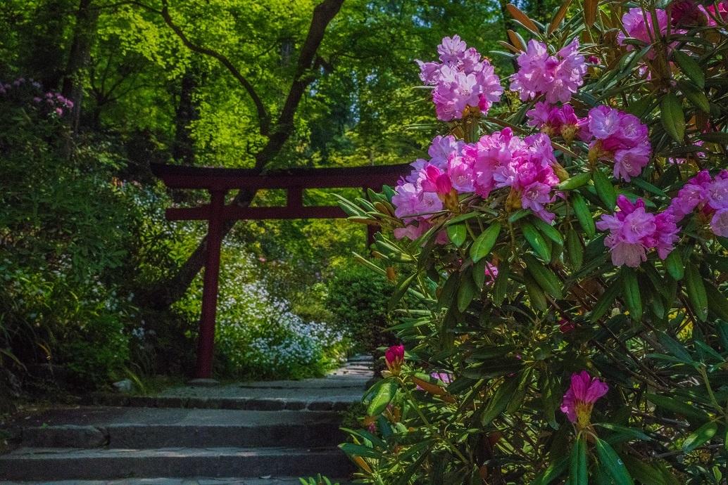 岡寺の石楠花とシャガの花_e0363038_11161719.jpg