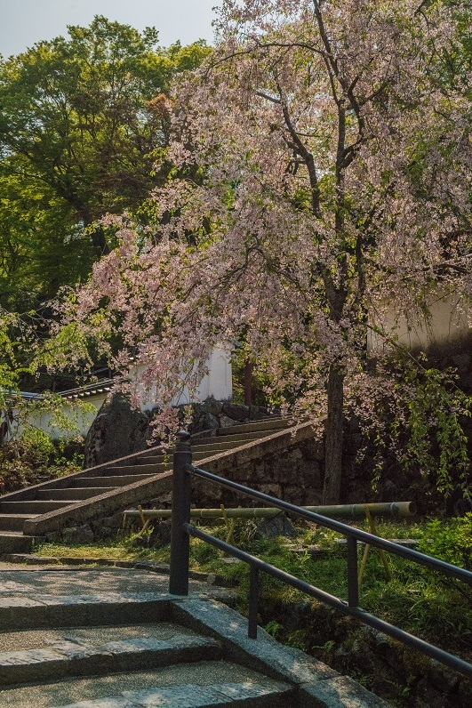 岡寺の石楠花とシャガの花_e0363038_11162873.jpg
