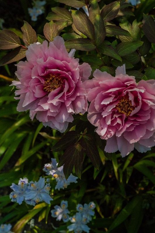岡寺の石楠花とシャガの花_e0363038_11163249.jpg