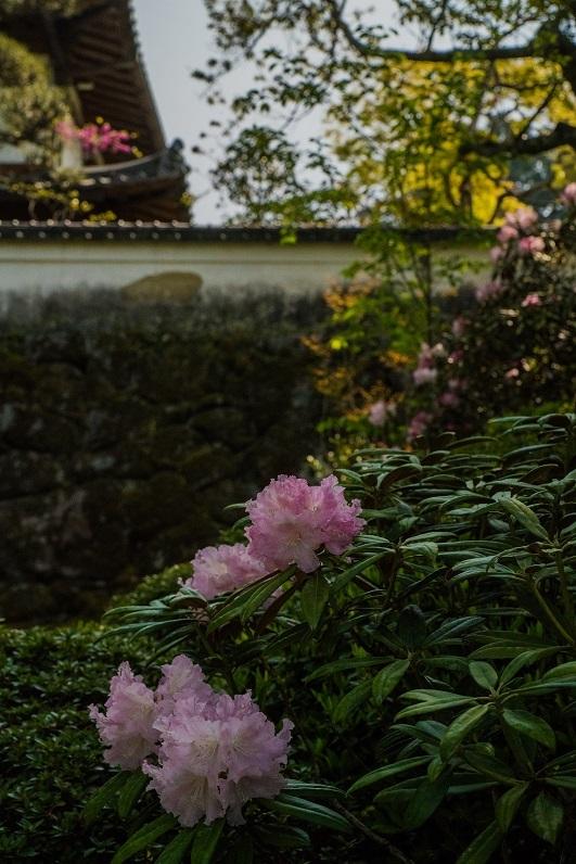 岡寺の石楠花とシャガの花_e0363038_11163601.jpg