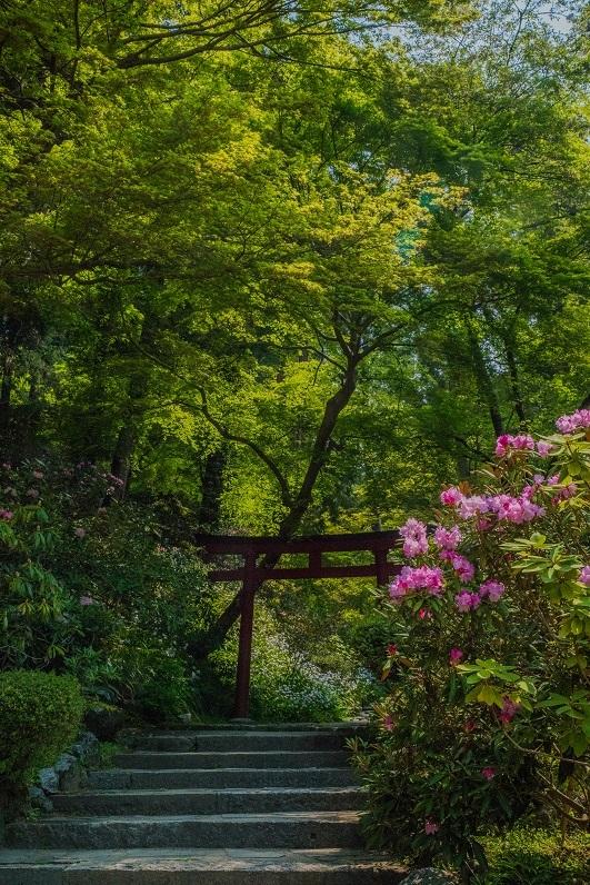 岡寺の石楠花とシャガの花_e0363038_11164400.jpg