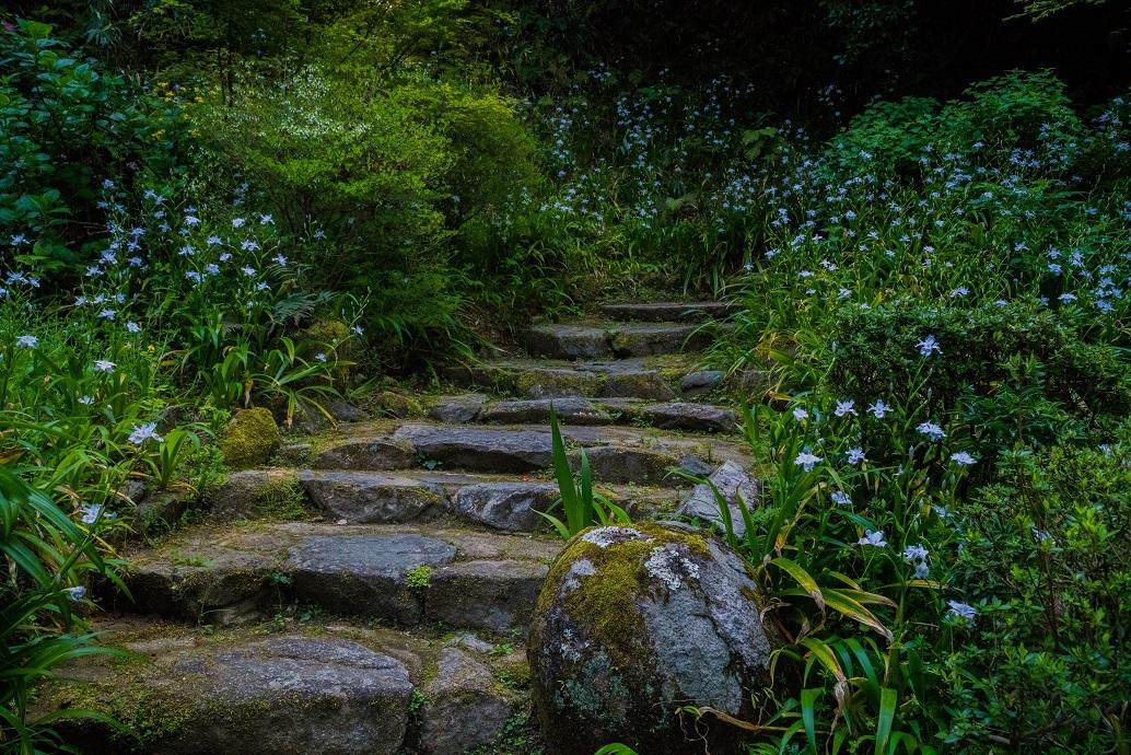 岡寺の石楠花とシャガの花_e0363038_11165202.jpg
