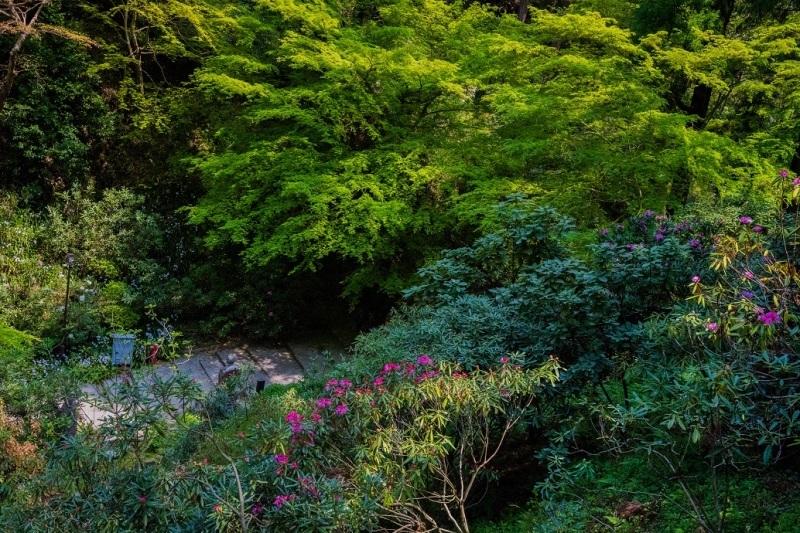 岡寺の石楠花とシャガの花_e0363038_11171990.jpg