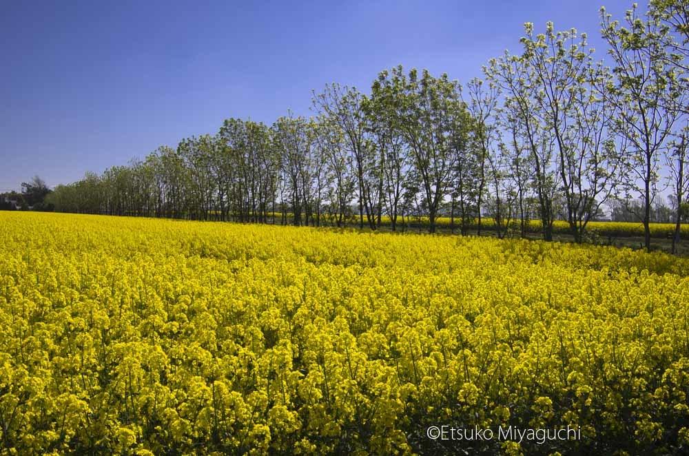 南幌町にも菜の花畑_f0152939_14093277.jpg