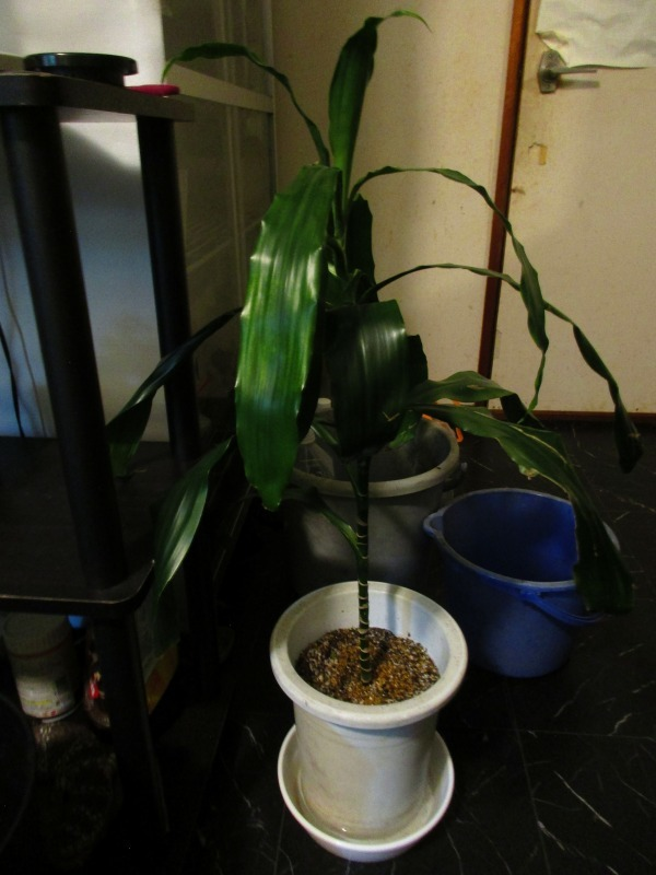 植物「自立しました」_b0362459_23215088.jpg