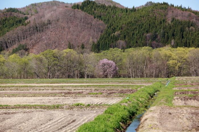西和賀町 沢内 新町の一本桜_e0165983_09394879.jpg