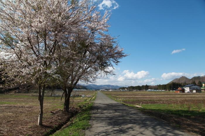 西和賀町 沢内 新町の一本桜_e0165983_09395318.jpg