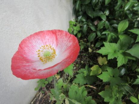 柿の雌花・雄花、ひなげしなど_a0203003_10425526.jpg
