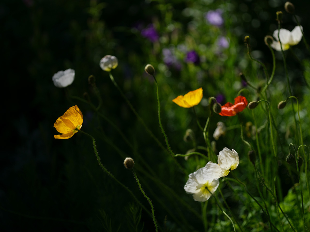気分はハッセル、花を撮りに行く Flowers #FUJIGFX50S#MAKROPLANAR120mmF4_c0065410_21291145.jpg