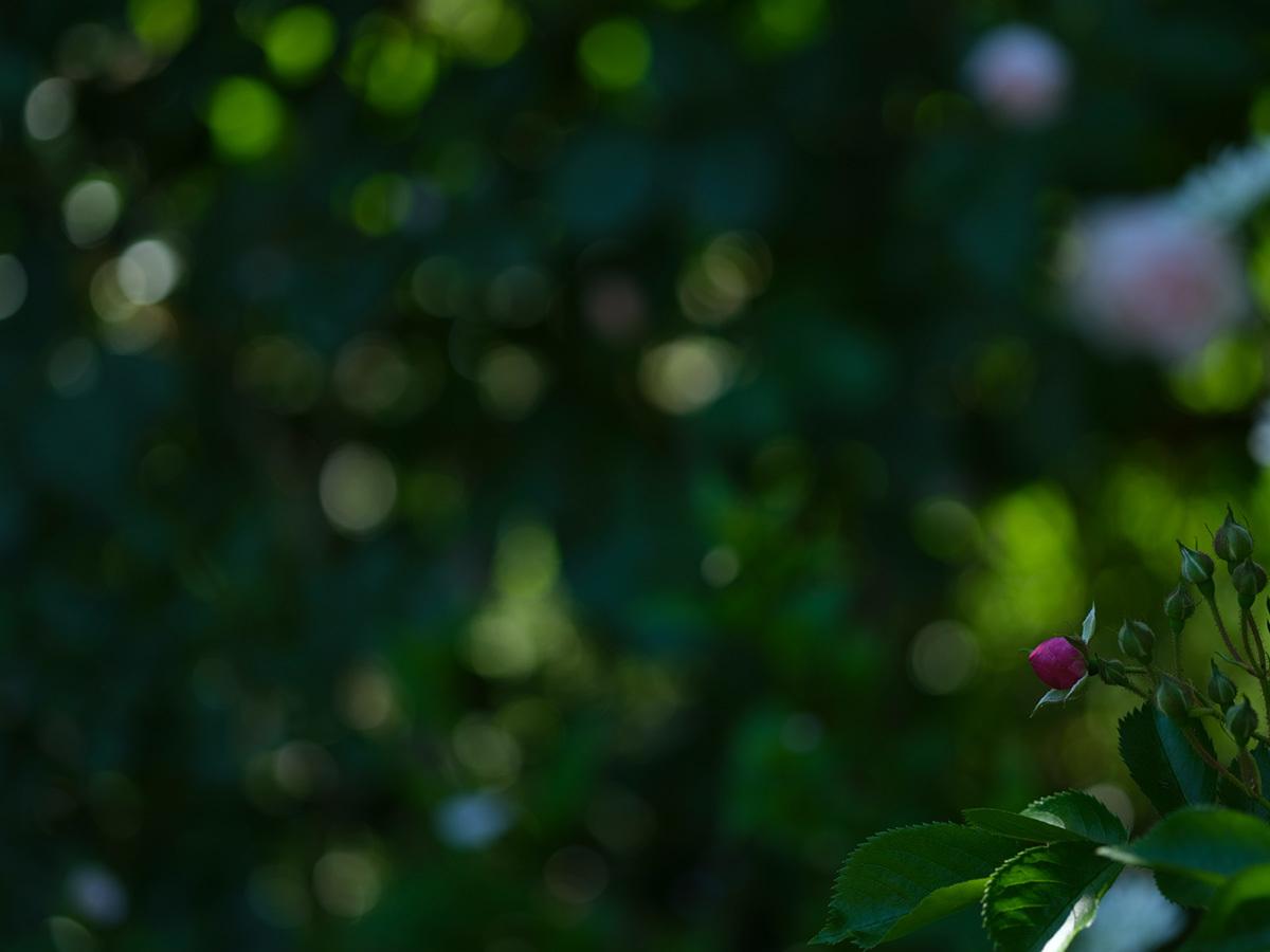 気分はハッセル、花を撮りに行く Flowers #FUJIGFX50S#MAKROPLANAR120mmF4_c0065410_21300966.jpg