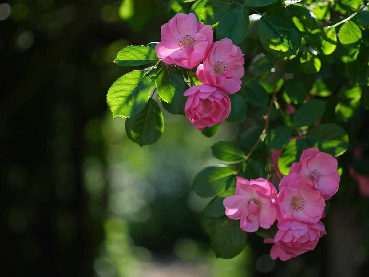 気分はハッセル、花を撮りに行く Flowers #FUJIGFX50S#MAKROPLANAR120mmF4_c0065410_21311771.jpg