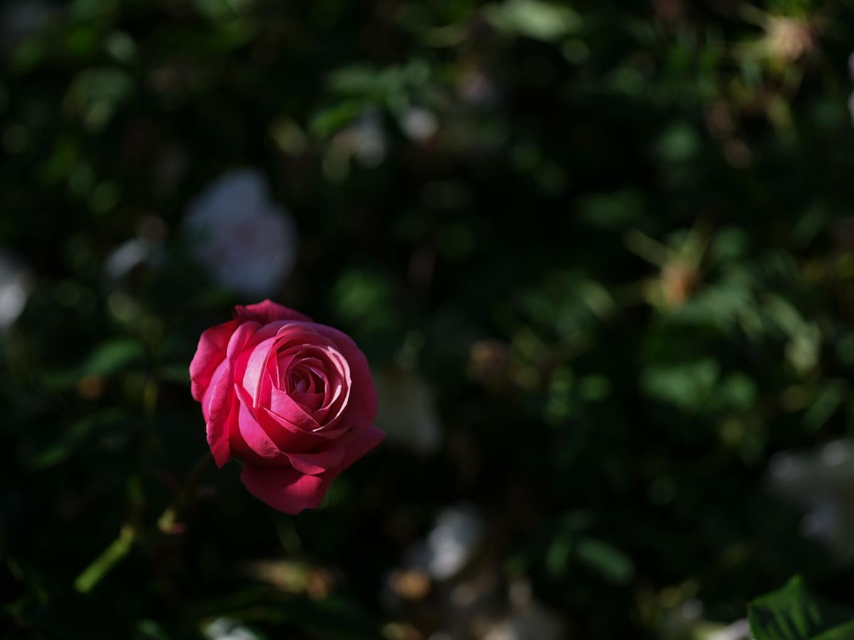 気分はハッセル、花を撮りに行く Flowers #FUJIGFX50S#MAKROPLANAR120mmF4_c0065410_21321494.jpg