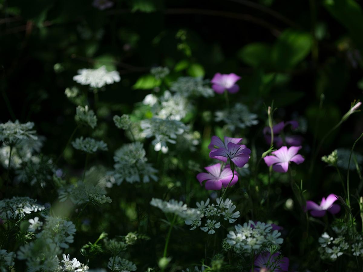 気分はハッセル、花を撮りに行く Flowers #FUJIGFX50S#MAKROPLANAR120mmF4_c0065410_21324707.jpg