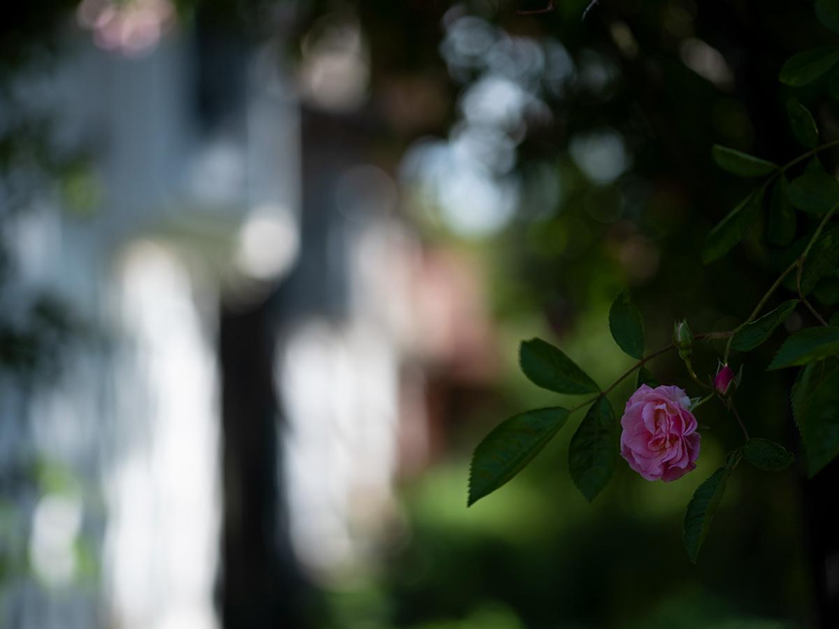 気分はハッセル、花を撮りに行く Flowers #FUJIGFX50S#MAKROPLANAR120mmF4_c0065410_21332704.jpg
