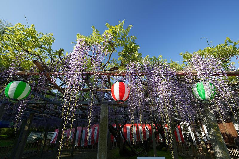 初夏の花巡り・藤@惣社神社_f0032011_22271119.jpg