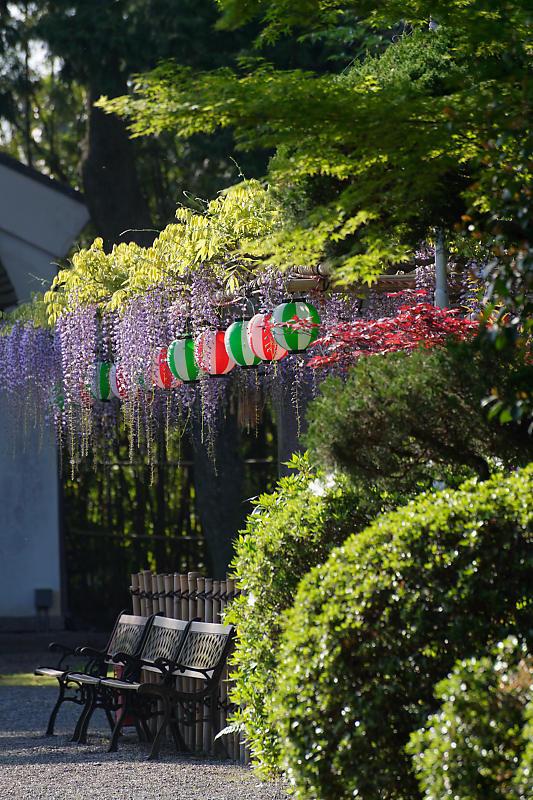 初夏の花巡り・藤@惣社神社_f0032011_22271146.jpg