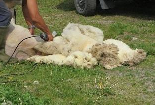 1年の一度の毛刈りの日_b0405523_11452368.jpg