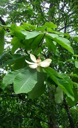 ネコ大好き・・・白い花の季節、ウツギ・ホウノキ・マタタビ_d0005250_1936279.jpg