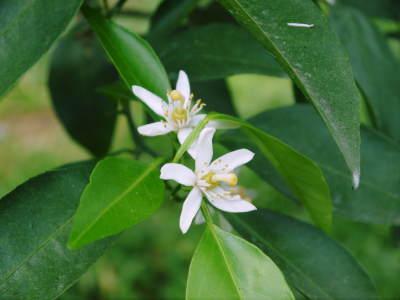 究極の柑橘「せとか」 今年も元気な花が咲きました!収穫は2月上旬!惜しまぬ手間ひまと匠の技で育てます_a0254656_16565620.jpg