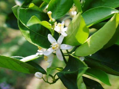 究極の柑橘「せとか」 今年も元気な花が咲きました!収穫は2月上旬!惜しまぬ手間ひまと匠の技で育てます_a0254656_16573922.jpg
