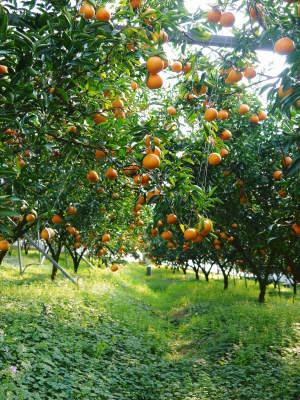 究極の柑橘「せとか」 今年も元気な花が咲きました!収穫は2月上旬!惜しまぬ手間ひまと匠の技で育てます_a0254656_17110620.jpg