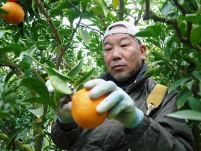 究極の柑橘「せとか」 今年も元気な花が咲きました!収穫は2月上旬!惜しまぬ手間ひまと匠の技で育てます_a0254656_17123938.jpg