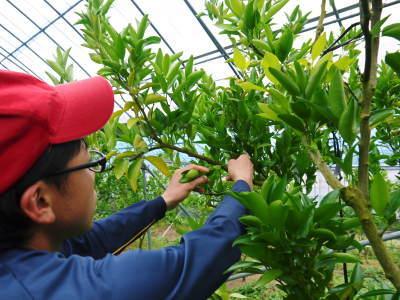 究極の柑橘「せとか」 今年も元気な花が咲きました!収穫は2月上旬!惜しまぬ手間ひまと匠の技で育てます_a0254656_18021891.jpg