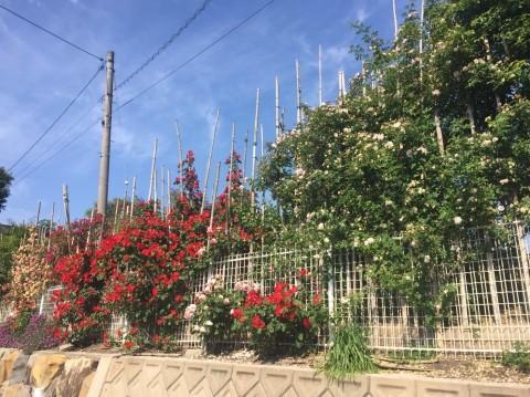 Rose Garden Fujii_e0115904_12173352.jpg