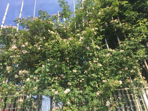 Rose Garden Fujii_e0115904_12195229.jpg