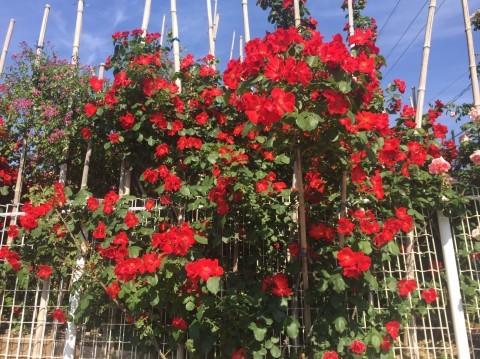 Rose Garden Fujii_e0115904_12195900.jpg