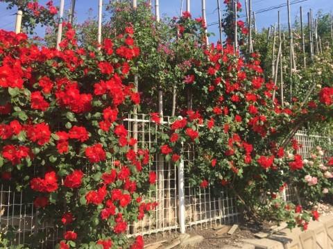 Rose Garden Fujii_e0115904_12200624.jpg