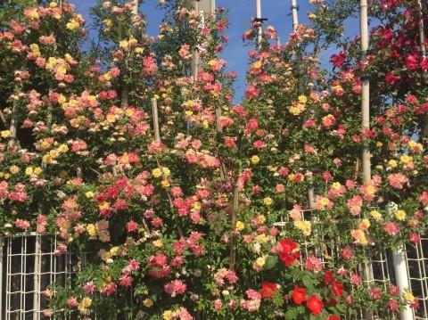 Rose Garden Fujii_e0115904_12205666.jpg