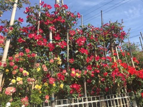 Rose Garden Fujii_e0115904_12214370.jpg