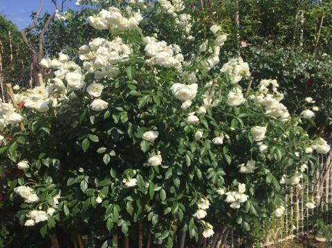 Rose Garden Fujii_e0115904_12214414.jpg