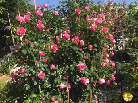 Rose Garden Fujii_e0115904_12220077.jpg